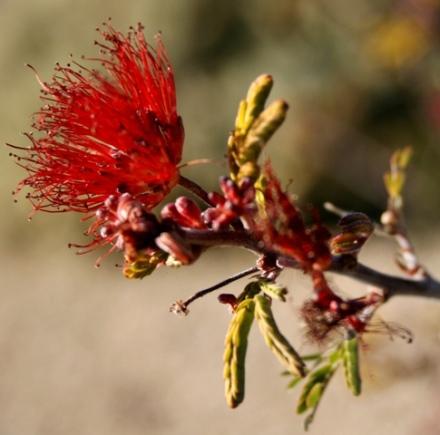 Desert Reds3