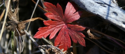 red-leaf2.jpg